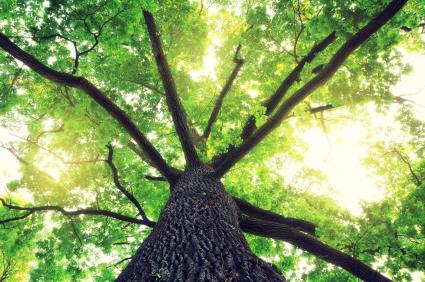 oak_trees